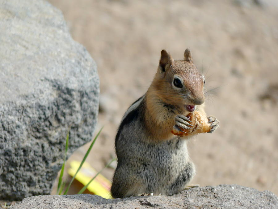 Lucky Golden Mantled Ground Squirrel by Lyuba Filatova