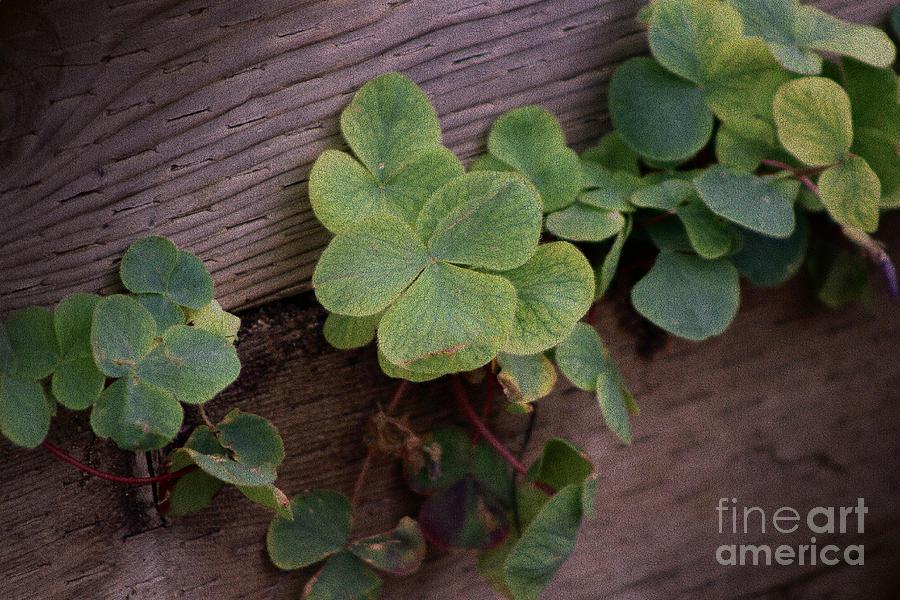 Shamrock Photograph - Lucky or Determined Saint Patricks Day Shamrocks by Colleen Cornelius