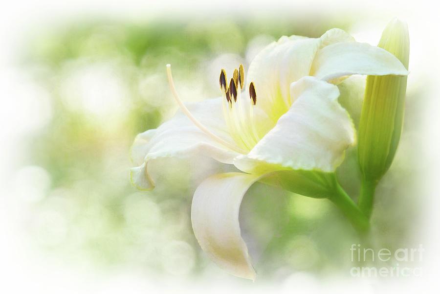 Luminous Daylily Photograph