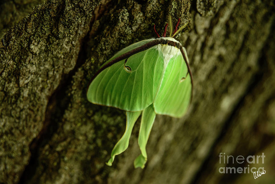 Luna Moth II Photograph