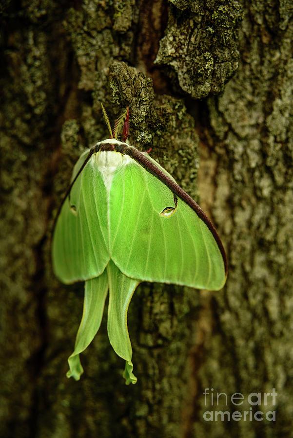 Luna Moth IIi Photograph