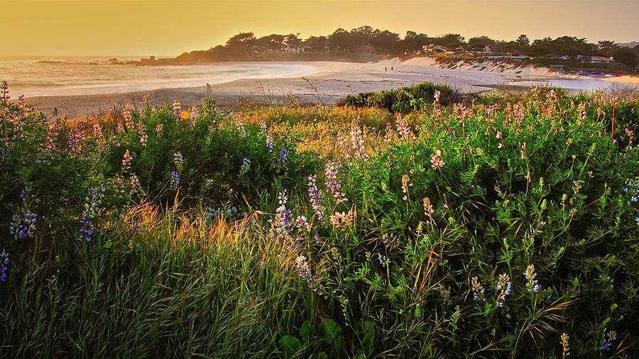 Lupine Above Carmel Beach, California Photograph