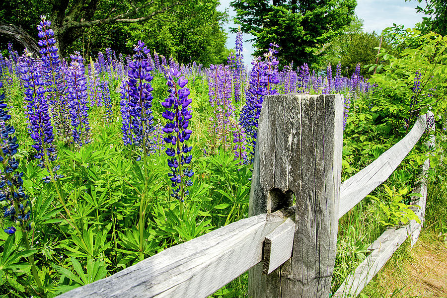 Lupine Borders Photograph