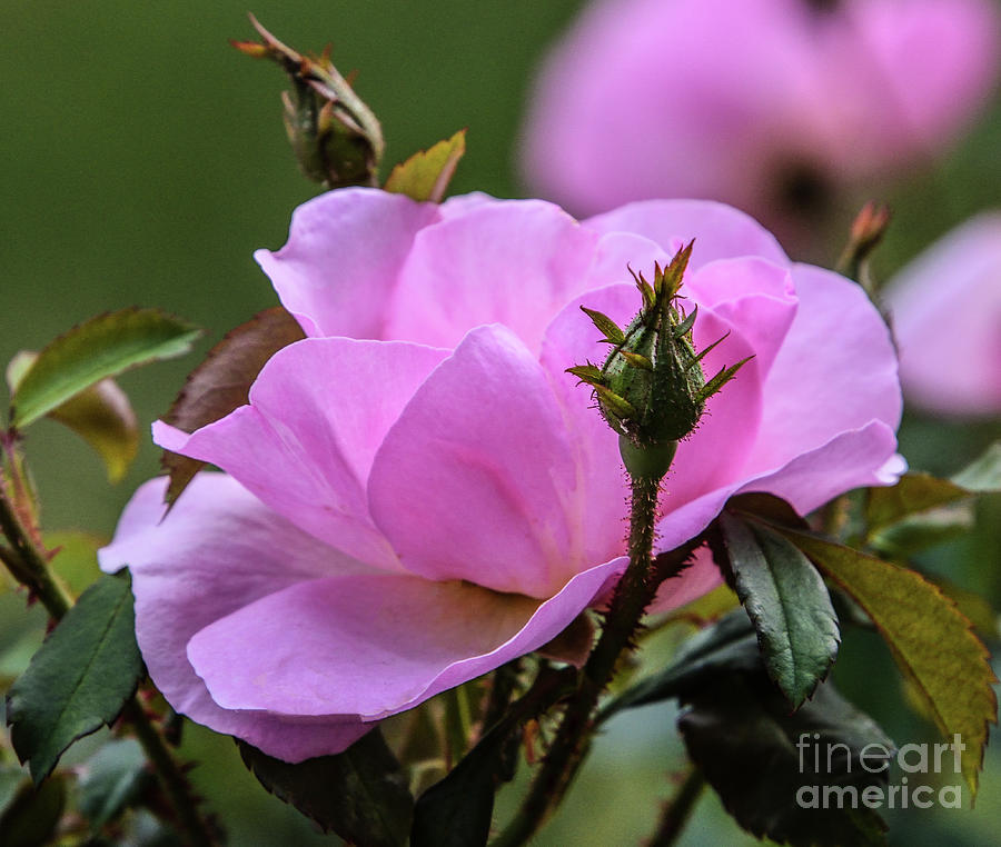 Luxurious Peachy Knock Out Rose With Buds Wating In The Wings Photograph