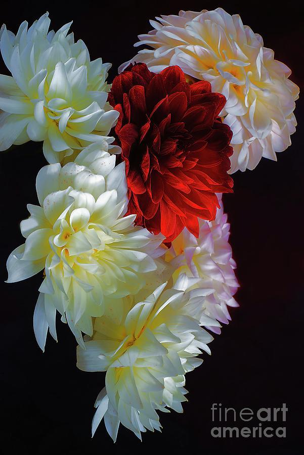 Luxury Of Dahlias # 3. Photograph