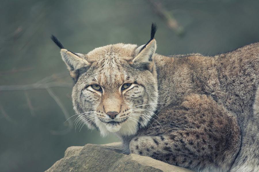 Lynx Portrait Photograph