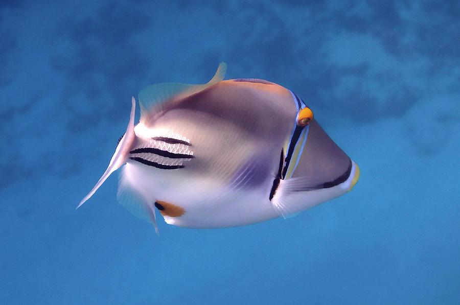 Macro Photo Of The Arabian Picasso Fish by Johanna Hurmerinta