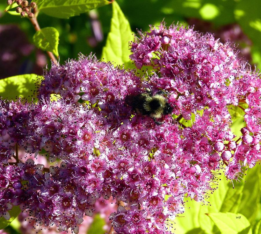 Magic Carpet Spirea And Bee Photograph