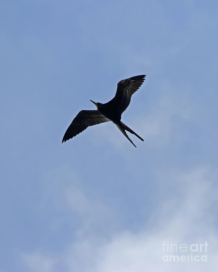 Magnificent Frigatebird by Banyan Ranch Studios