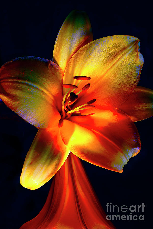 Magnificent Lilies # 2. Photograph