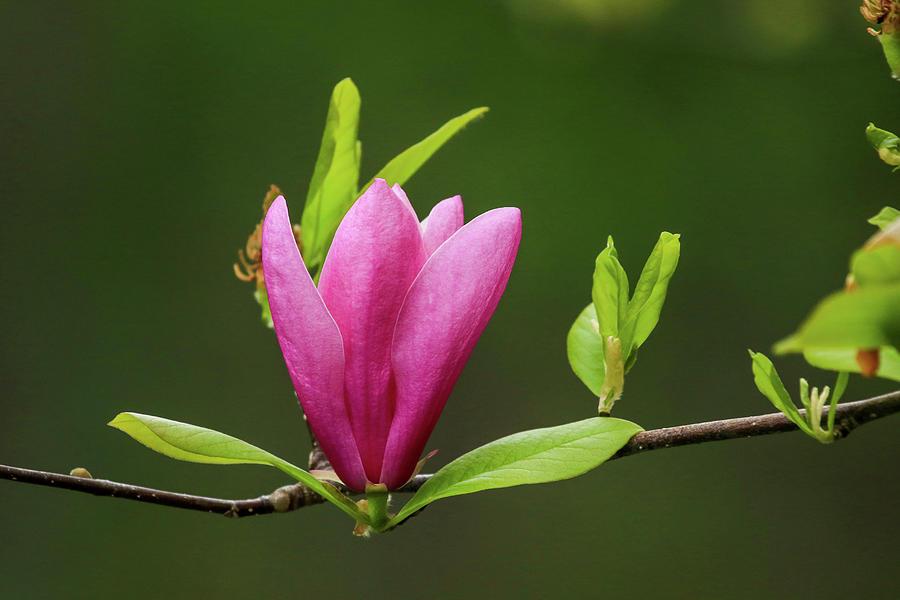 Magnolia Beauty Photograph