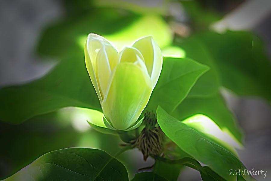Magnolia Blossom In Fading Light Photograph