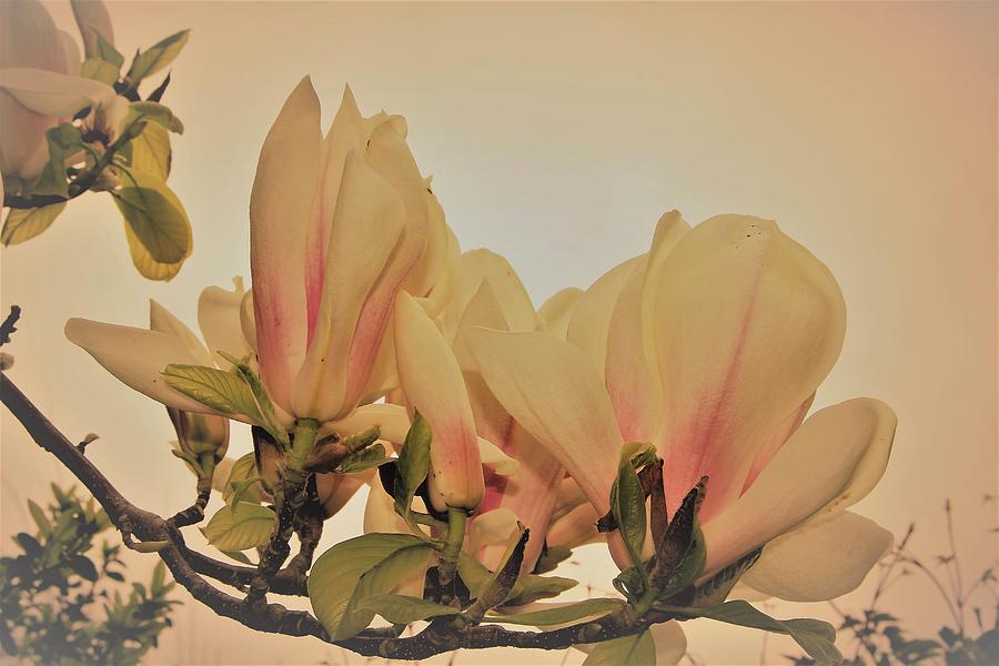 Magnolia Duo Photograph