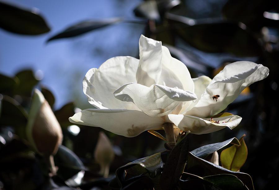 Magnolia Grandiflora IIi Photograph