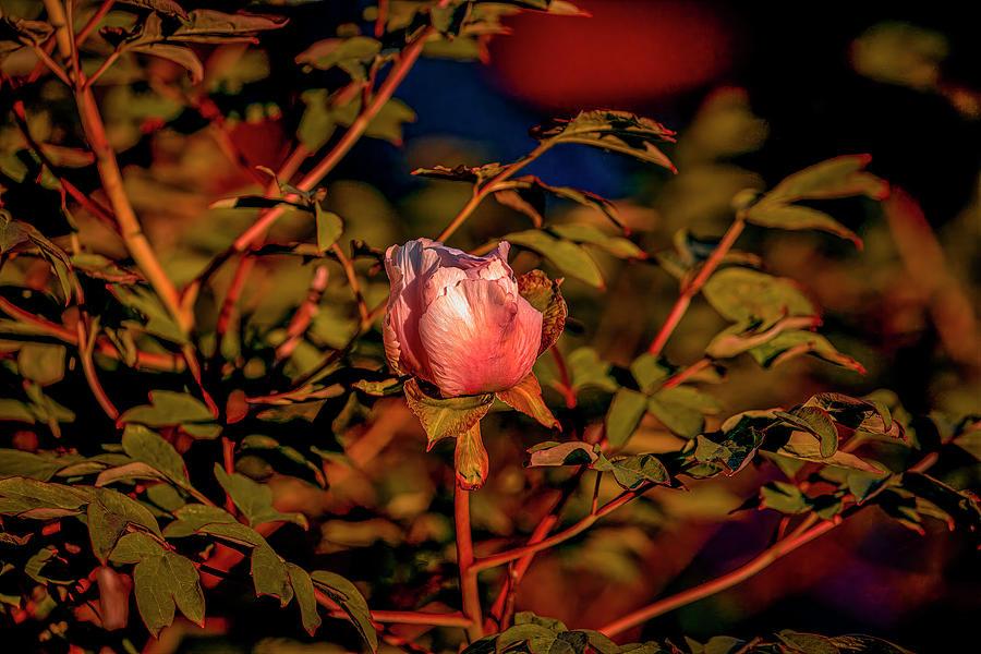 Magnolia Light #j8 Photograph
