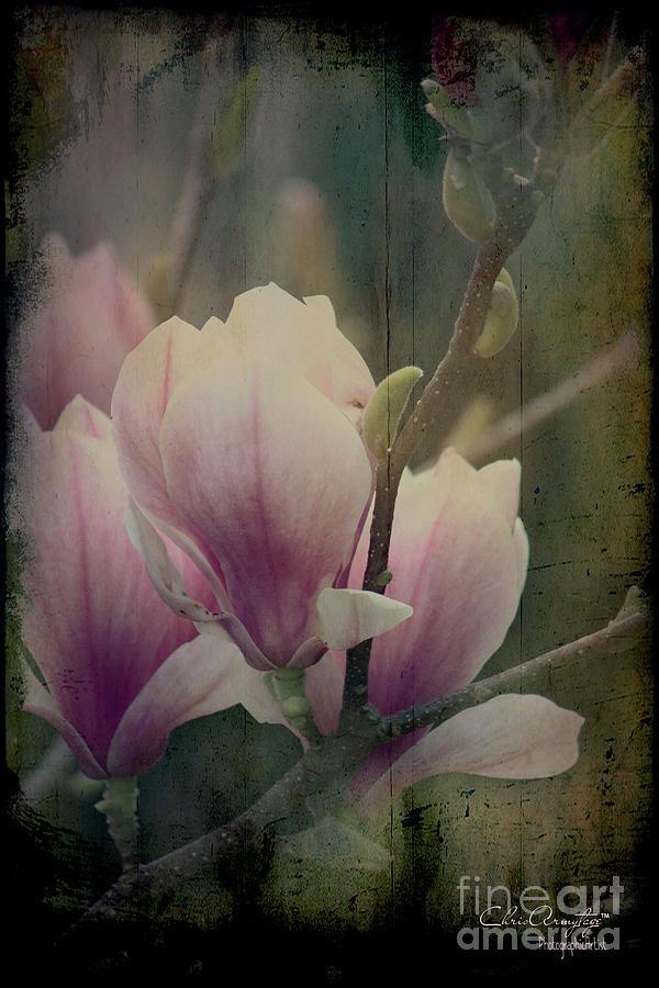 Magnolia Memories by Chris Armytage