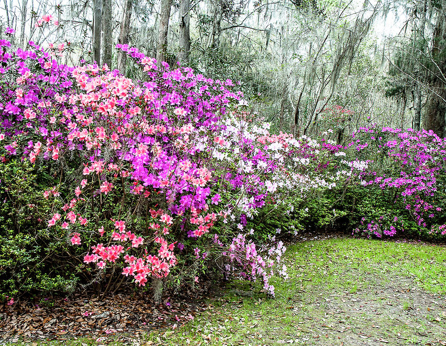 Magnolia Plantation Azaleas Photograph