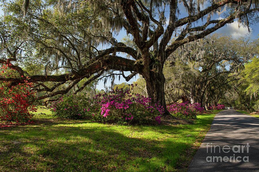 Magnolia Plantation Drive Photograph