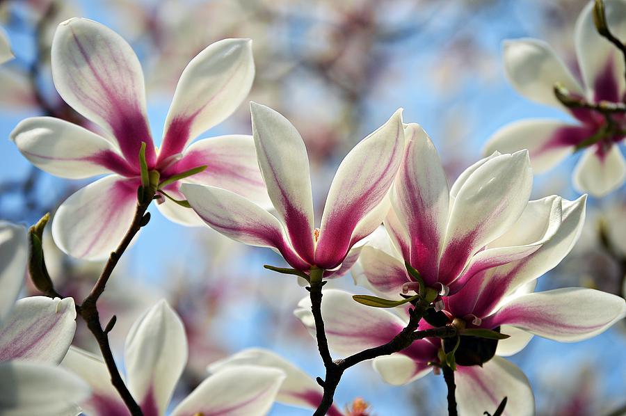 Magnolia by Thomas Schroeder