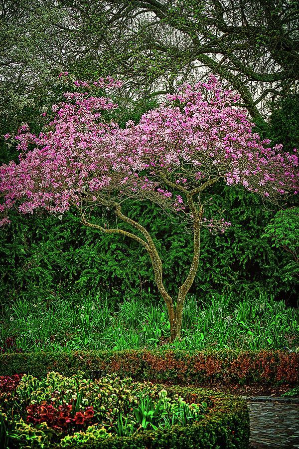 Magnolia Tree #k0 Photograph