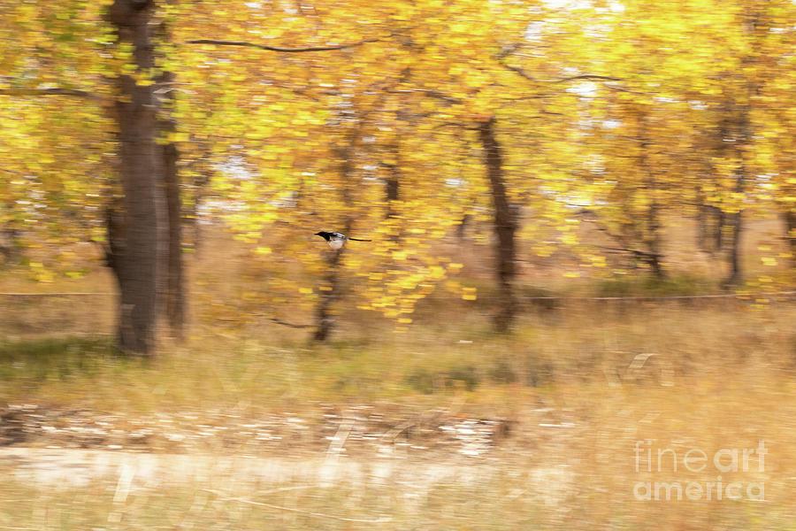 Animals Photograph - Magpie In Flight by Nicki Hoffman