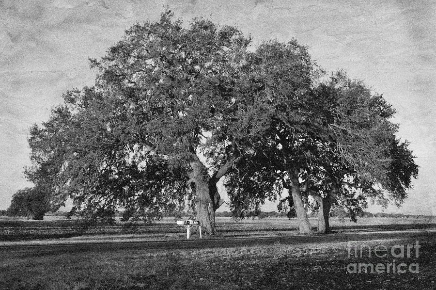 Mailbox Oaks Photograph