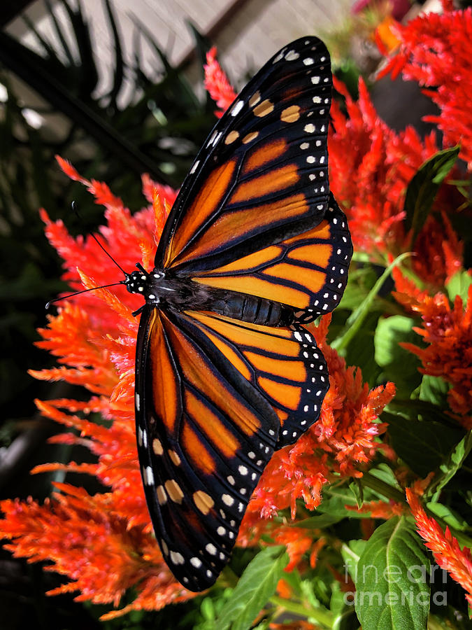 Majestic Female Monarch Butterfly Photograph