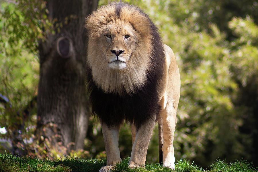 Majestic Male Lion Photograph