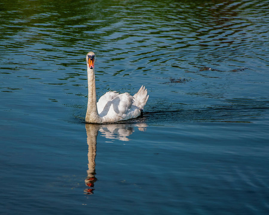 Majestic Swan Photograph