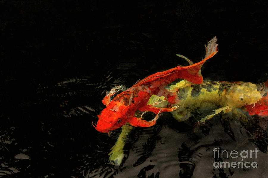 Koi Photograph - Making Waves by Marilyn Cornwell