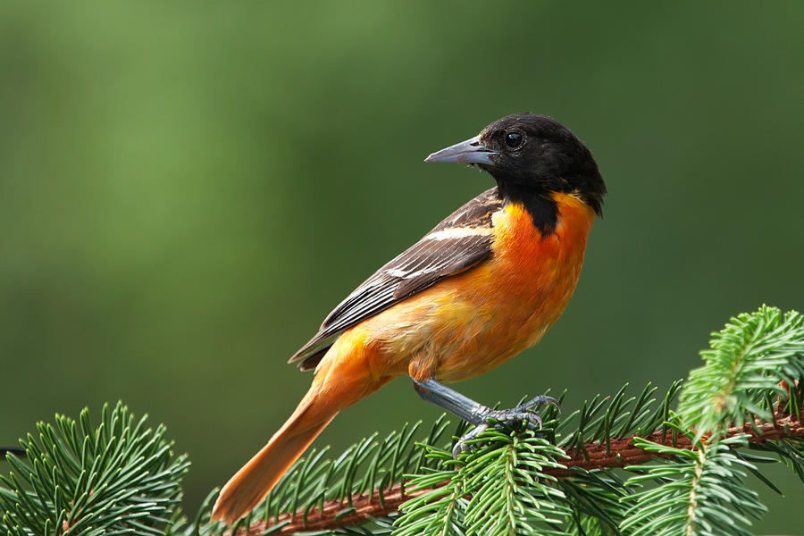 Male Baltimore Oriole Photograph by Jhayes44