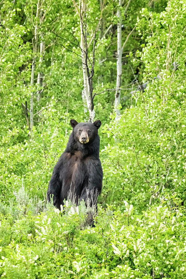 Male Black Bear Looking To Cross The Road, Grand Tetons Photograph