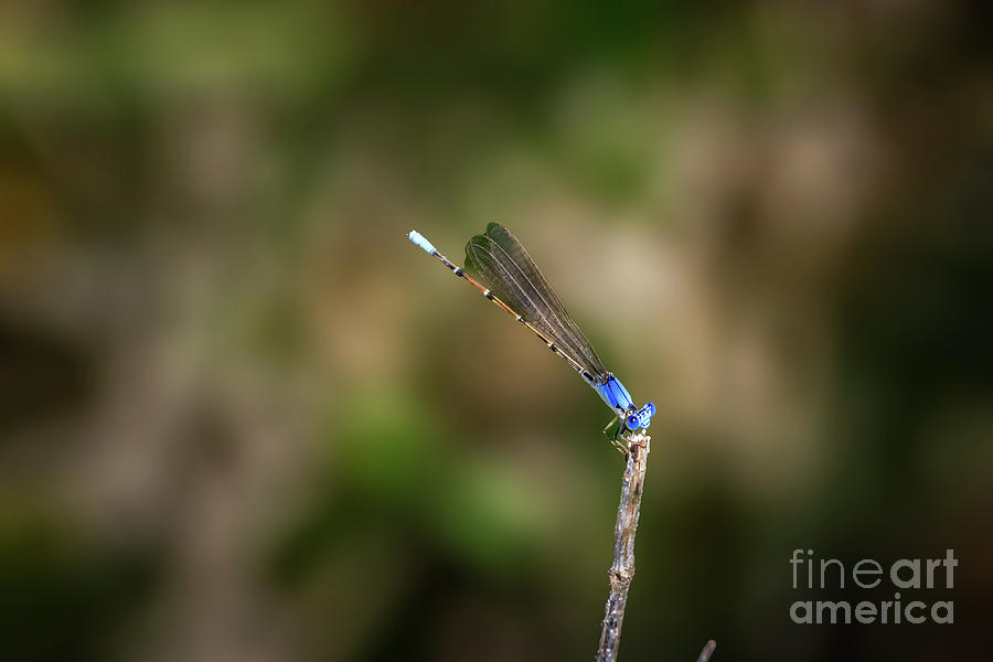 Male Blue-fronted Dancer Damselfly On A Lakesho Photograph