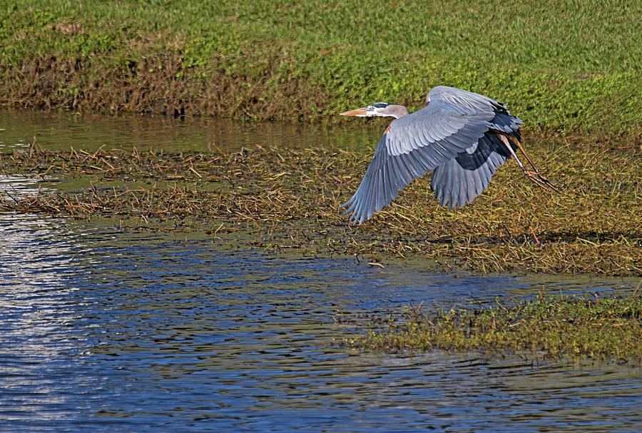 Male Blue on the Fly by Karl Ford