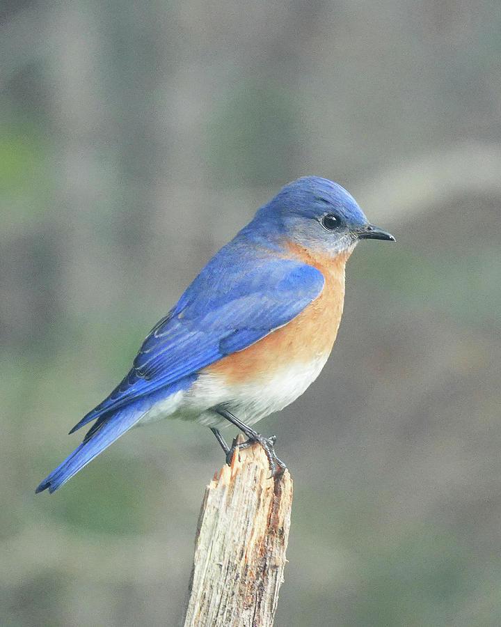 Male Bluebird Photograph
