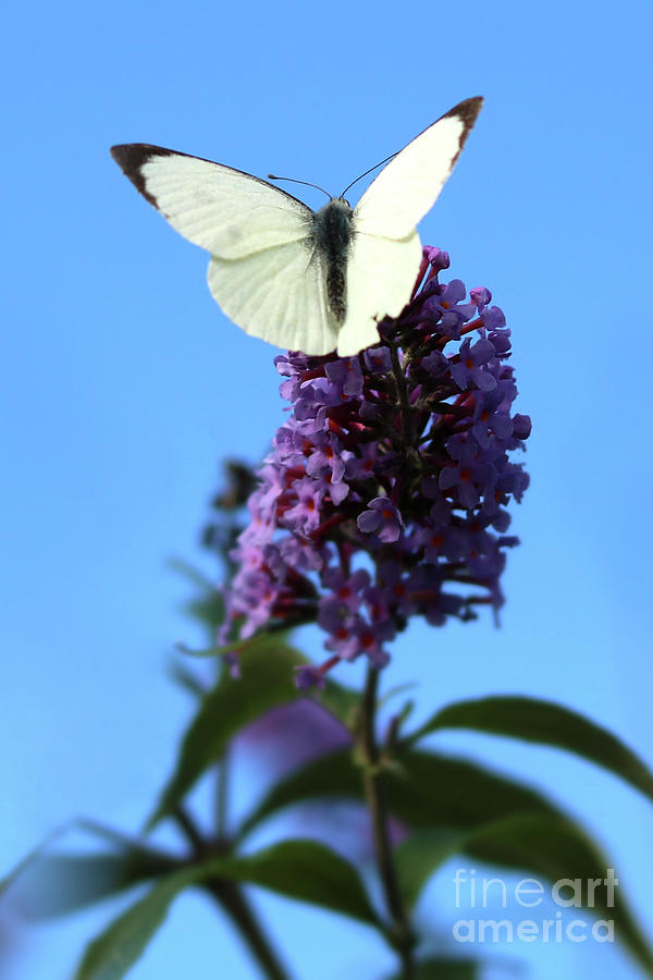 Male Cabbage White Butterfly Photograph