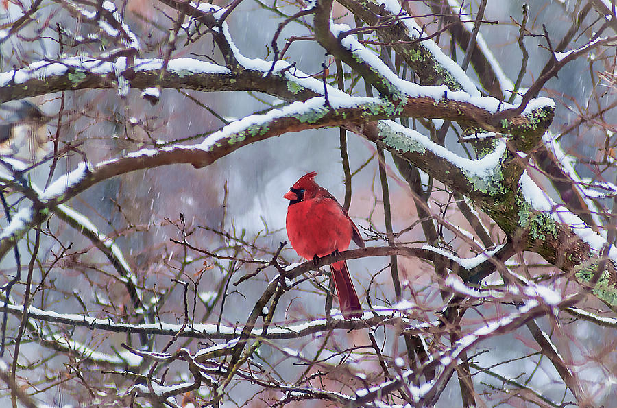 Male Cardinal in the Cold by Norman Peay