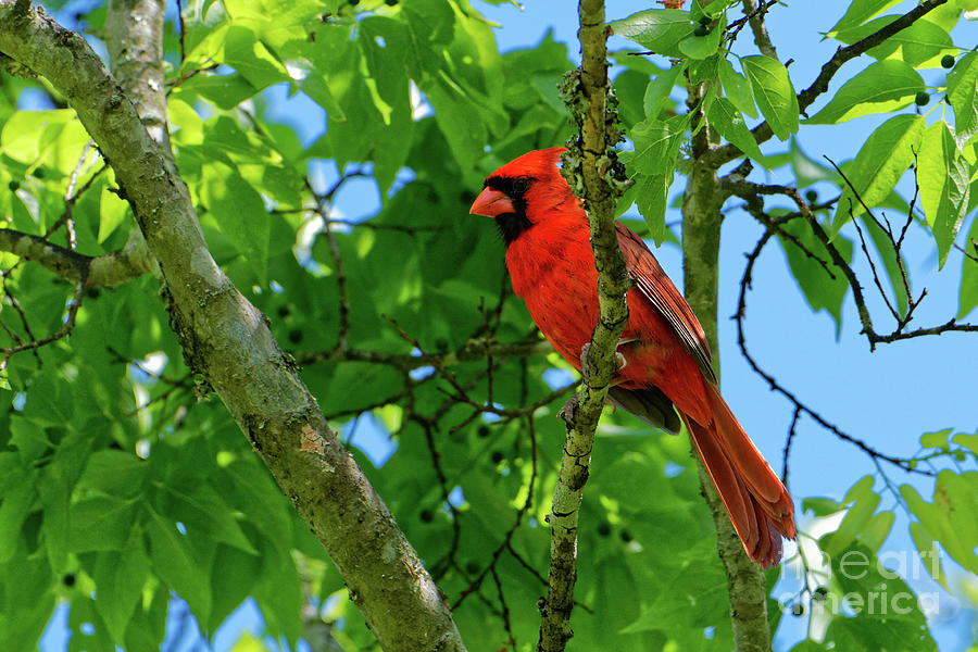 Male Cardinal Photograph