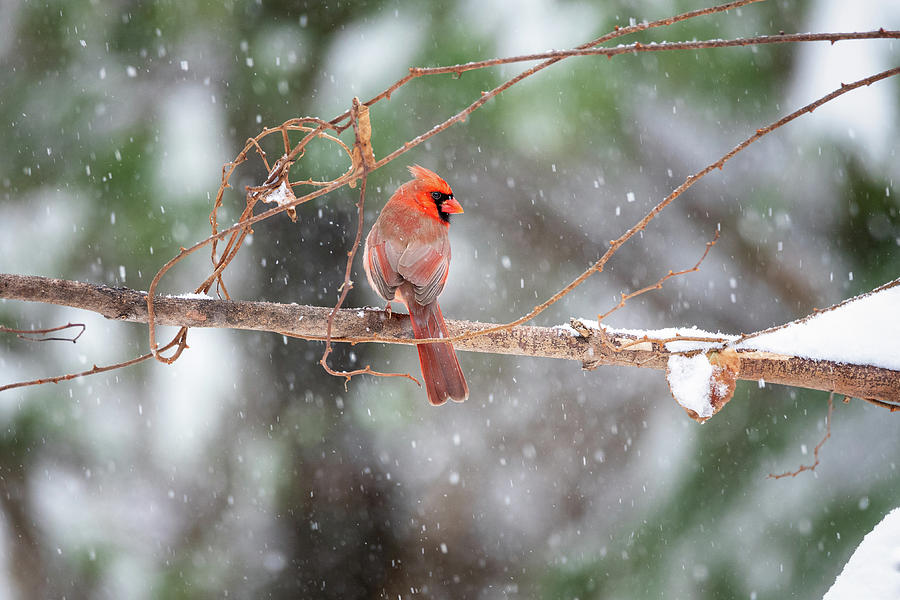 Male Cardinal Snowstorm by Mike Koenig