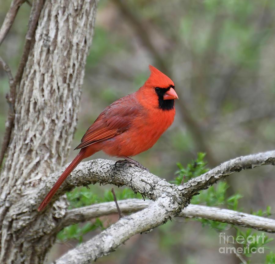 Male Cardinal - Spring Portrait Photograph
