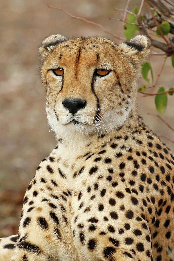 Cheetah Photograph - Male Cheetah Vertical by MaryJane Sesto