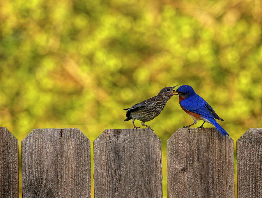 Male Eastern Bluebird Feeding Juvenile Photograph