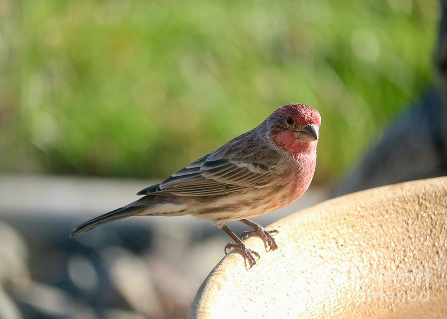 Male House Finch On Bird Bath Photograph