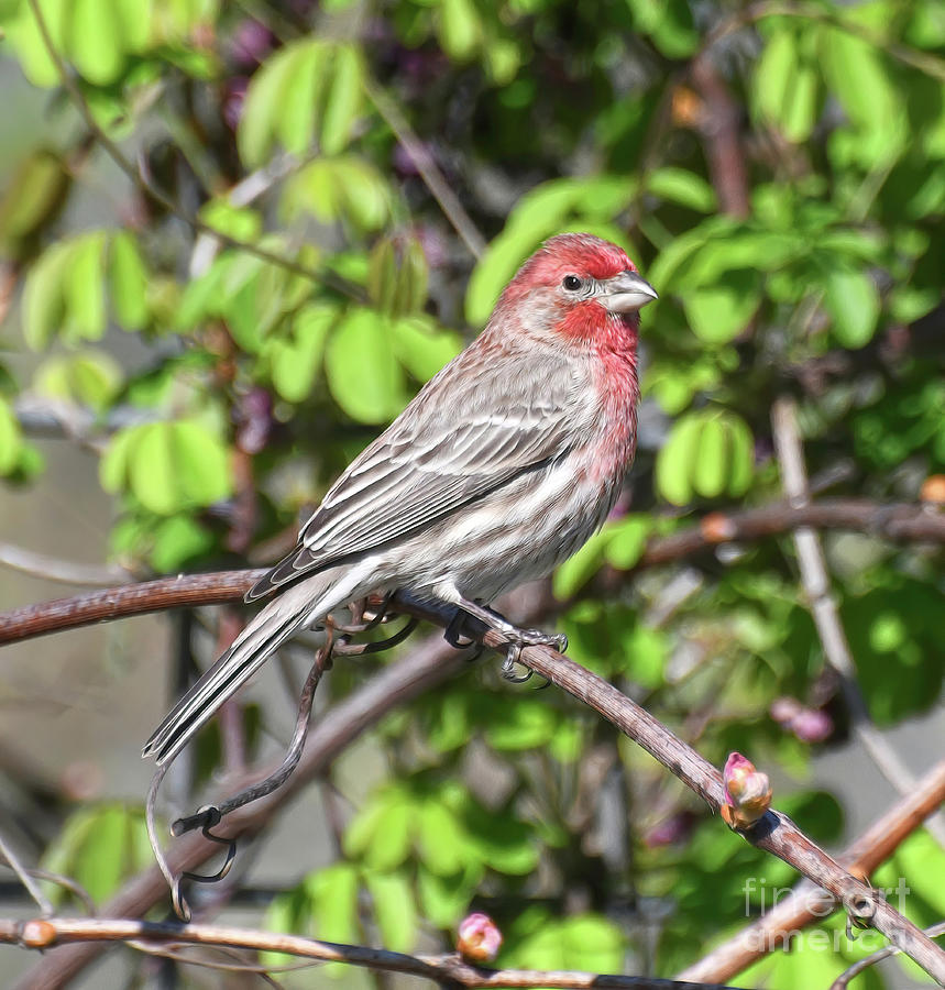 Male House Finch Poses For His Portrait Photograph