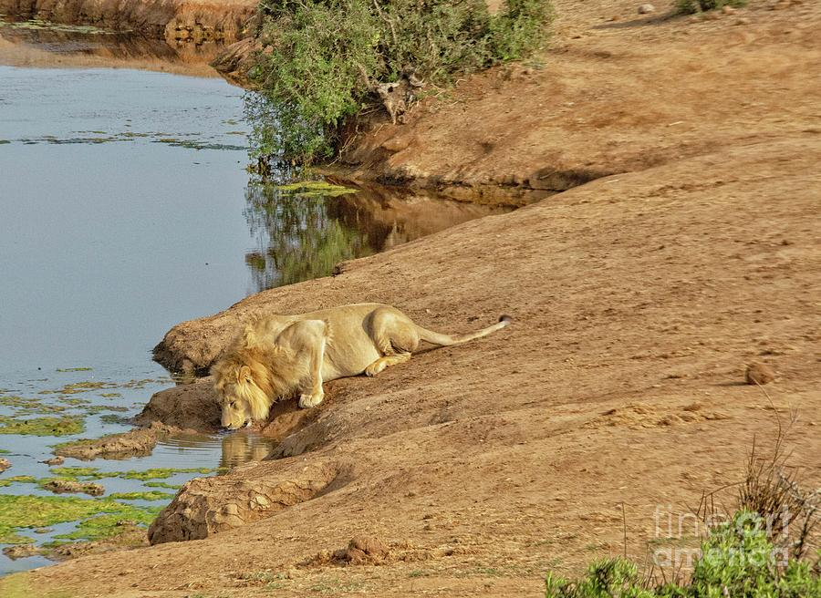 Male lion drinking at watering hole in Addo NP, South Africa by Patricia Hofmeester