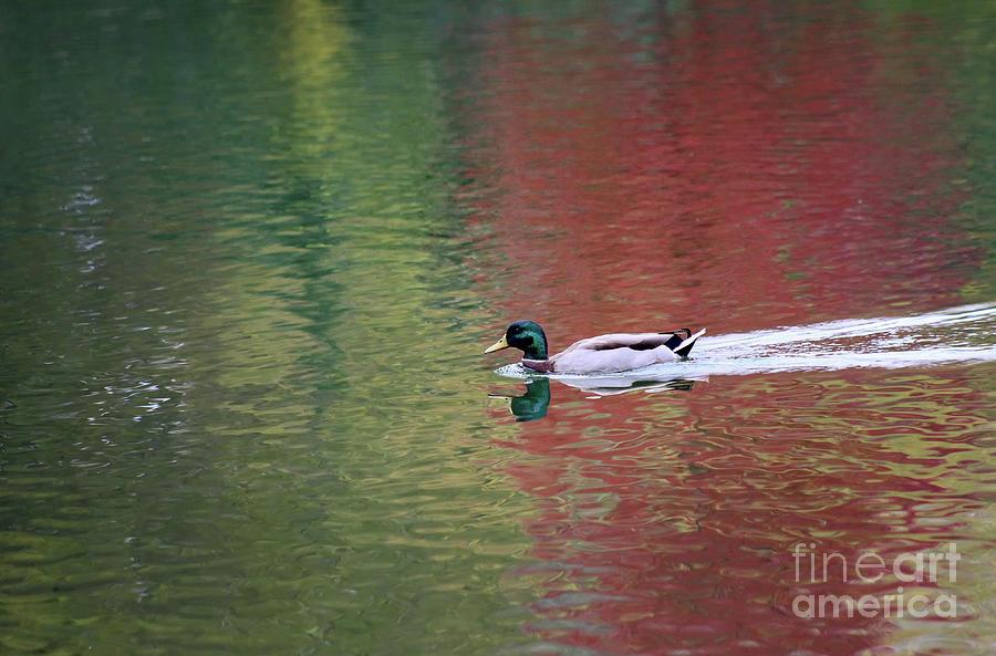 Male Mallard Duck in Fall Reflections by Karen Adams