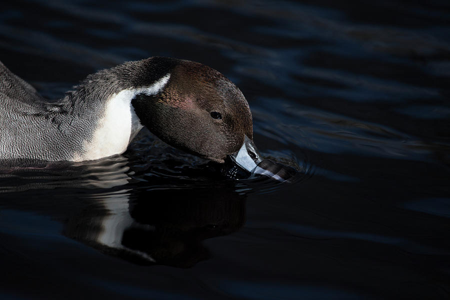 Male Northern Pintail by Karol Livote