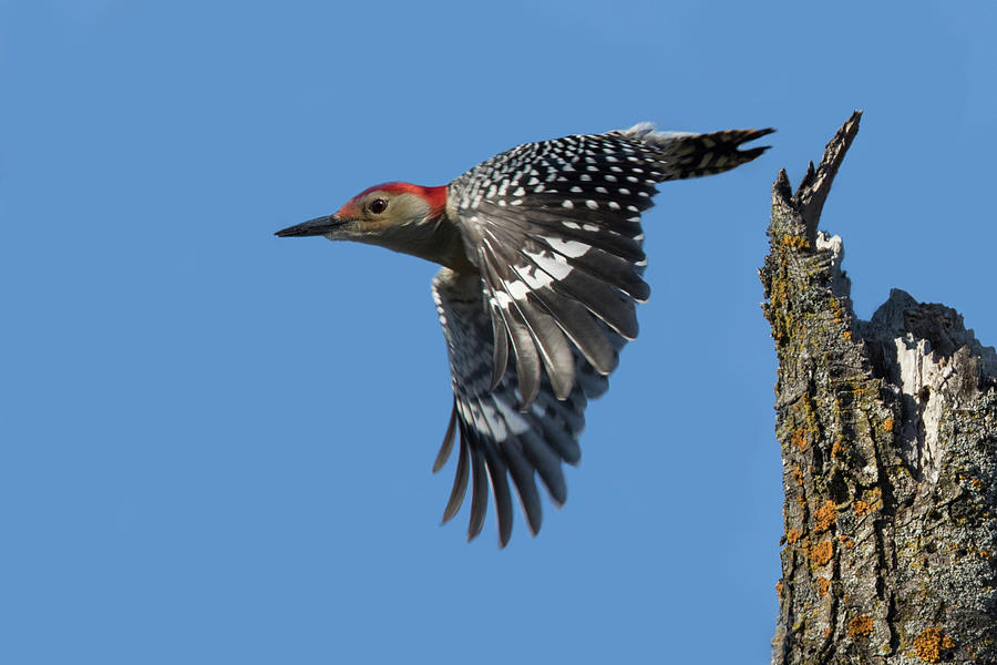Male Red-bellied Woodpecker Photograph