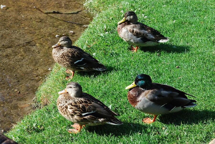 Mallard Ducks Photograph