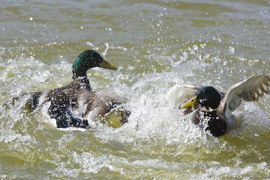 Mallard ducks fighting Photograph by Marilyn Dunstan